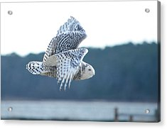 Snowy Owl 1 Acrylic Print