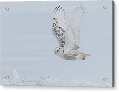 Acrylic Print featuring the photograph Snowy Owl #3/3 by Patti Deters