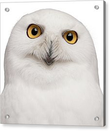 Snowy Owl -bubo Scandiacus Acrylic Print by Life On White