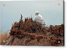 Snowy Owl In Dunes Acrylic Print
