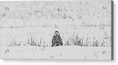 Snowy Owl In Snowy Field Acrylic Print by Carrie Ann Grippo-Pike
