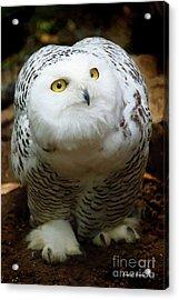 Snowy Owl Acrylic Print by Jerry L Barrett