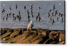 Snowy Owl On A Jetty Acrylic Print