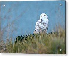 Snowy Owl On A Park Bench Acrylic Print
