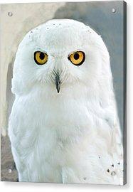 Snowy Owl Portrait Acrylic Print