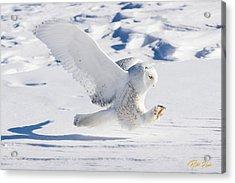 Snowy Owl Pouncing Acrylic Print