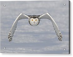 Snowy Owl Acrylic Print by Scott  Linstead