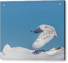 Snowy Owl - Taking Flighty Acrylic Print