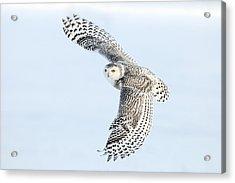 Snowy Owl Topside Acrylic Print by Scott  Linstead