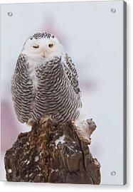 Snowy Owl Winking Acrylic Print