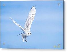 Snowy Owls Soaring Acrylic Print
