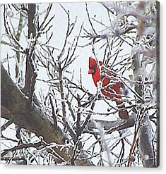 Snowy Red Bird A Cardinal In Winter Acrylic Print