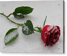 Richard's  Rose Acrylic Print