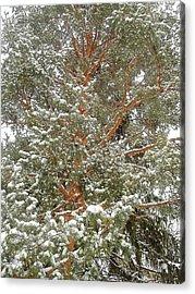 Snowy Tree Acrylic Print by Beth Akerman