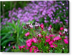 Acrylic Print featuring the photograph Soapwort And Pinks by Kathryn Meyer