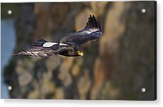 Soaring Black Eagle Acrylic Print by Basie Van Zyl