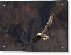 Acrylic Print featuring the photograph Soaring by Cindy Lark Hartman