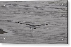 Acrylic Print featuring the photograph Soaring Gull by  Newwwman