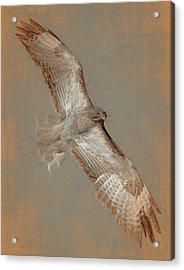 Soaring Hawk  Acrylic Print by Chris LeBoutillier