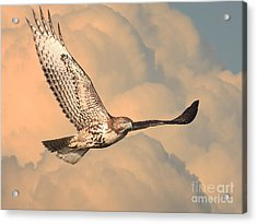 Soaring Hawk Acrylic Print by Wingsdomain Art and Photography