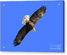 Soaring Into The Blue  Acrylic Print