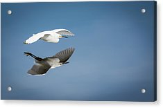 Soaring Over Still Waters Acrylic Print