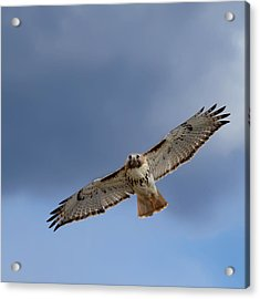 Soaring Red Tail Acrylic Print by Bill Wakeley