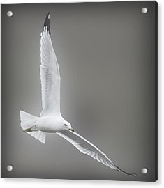 Soaring Seagull Acrylic Print