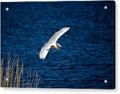 Soaring Snowy Egret  Acrylic Print by DigiArt Diaries by Vicky B Fuller