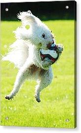 Soccer Dog-3 Acrylic Print