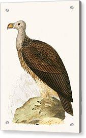 Sociable Vulture Acrylic Print by English School