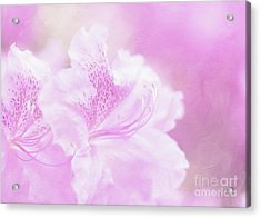 Soft And Lovely Pink Rhododendrons  Acrylic Print