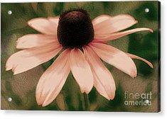 Soft Delicate Pink Daisy Acrylic Print by Judy Palkimas