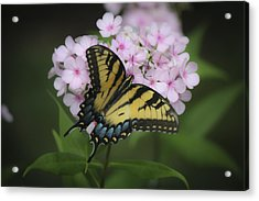 Soft Focus Tiger Swallowtail Acrylic Print by Teresa Mucha