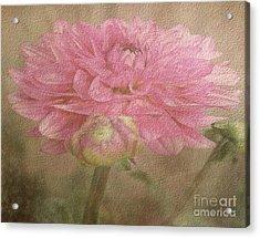 Soft Graceful Pink Painted Dahlia Acrylic Print by Judy Palkimas