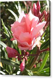 Soft Pink Blush Acrylic Print