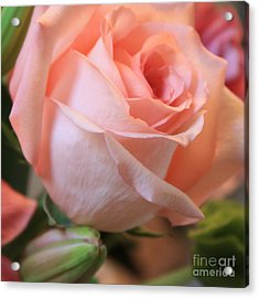 Soft Pink Rose Acrylic Print by Carol Groenen