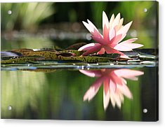 Soft Pink Water Lily Acrylic Print