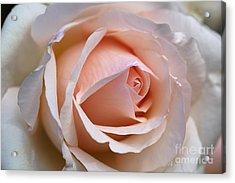 Soft Rose Acrylic Print by Joy Watson