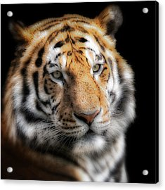 Soft Tiger Portrait Acrylic Print