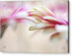 Acrylic Print featuring the photograph Soft Touch. Macro Gerbera by Jenny Rainbow