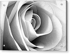Softened Rose Acrylic Print
