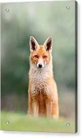 Softfox - Red Fox Sitting Acrylic Print by Roeselien Raimond