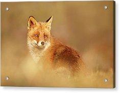 Softfox Series - Red Fox Blending In Acrylic Print by Roeselien Raimond
