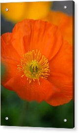 Softly Poppies Acrylic Print by Kathy Yates
