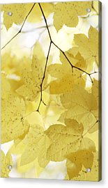 Softness Of Yellow Leaves Acrylic Print by Jennie Marie Schell
