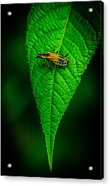Soldier Beetle Acrylic Print