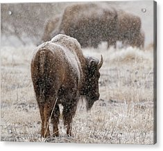 American Bison In Snow Acrylic Print
