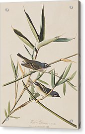 Solitary Flycatcher Or Vireo Acrylic Print by John James Audubon