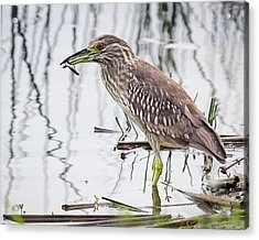 Solitary Juvenile Acrylic Print by Dawn Currie